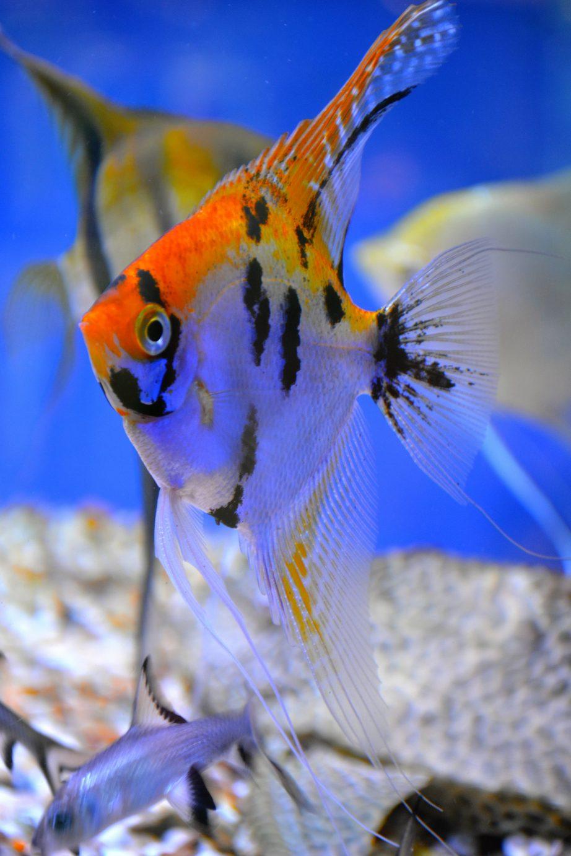 tropical fish gallery viking aquatics. Black Bedroom Furniture Sets. Home Design Ideas